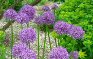 Allium Globemaster at Savill Gardens